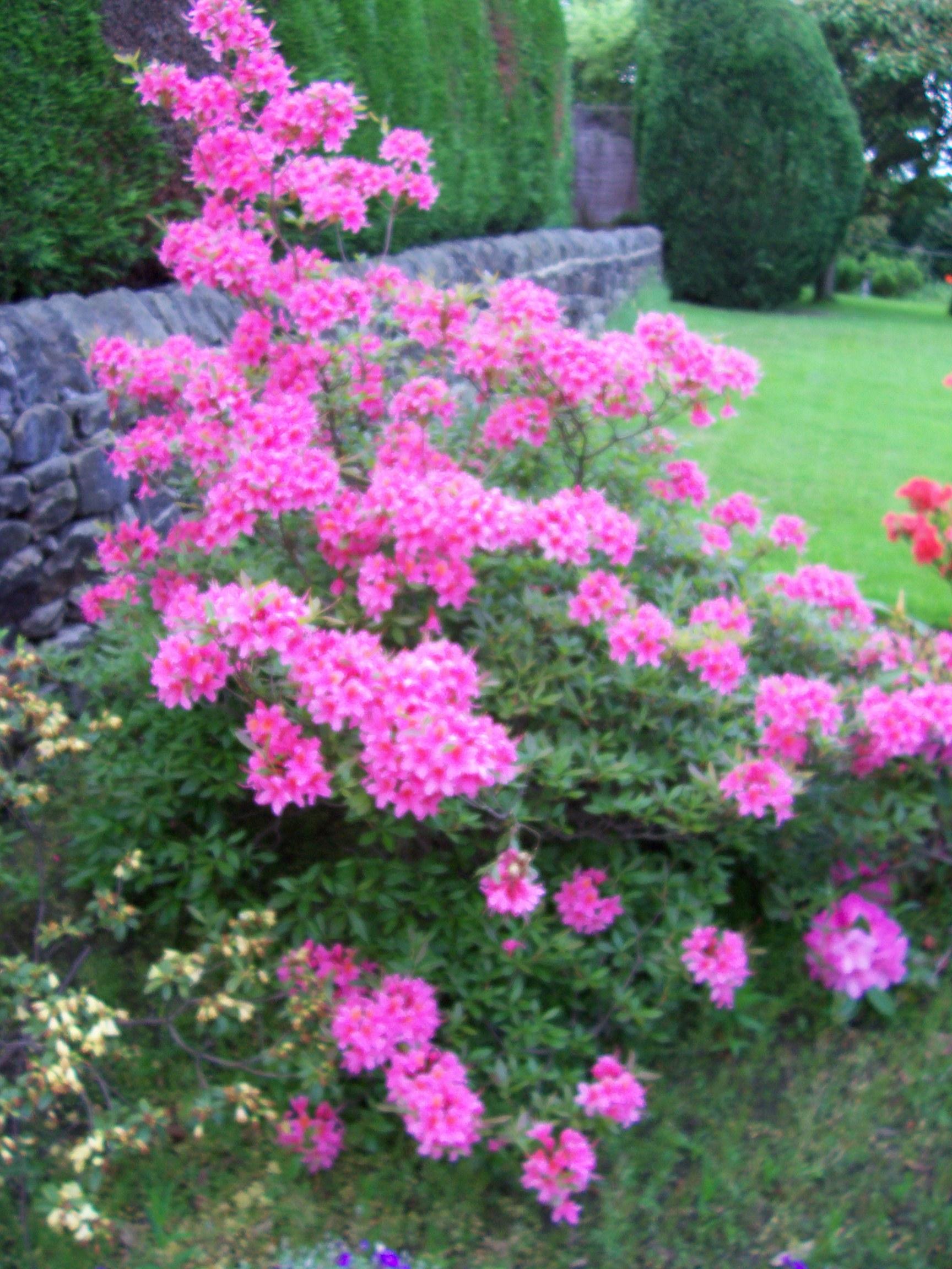 Dwarf fir shrub bing images for Hardy flowering trees