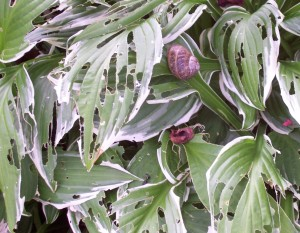 hosta-snail damage