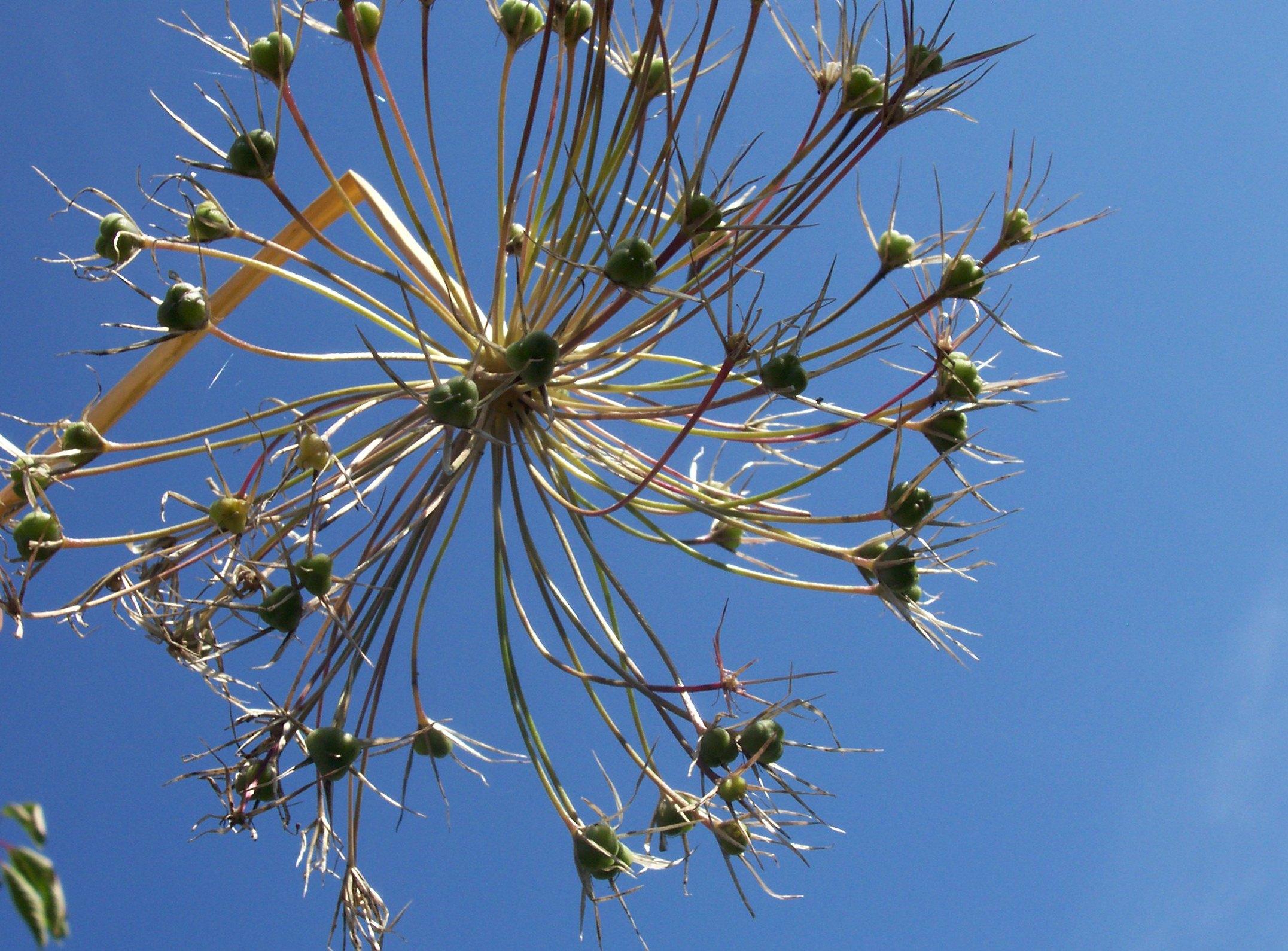 Allium seeds
