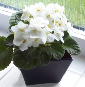 Easy African Violet Care – Saintpaulia | Gardeners Tips