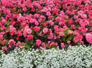 Begonia and  Sweet Alysum