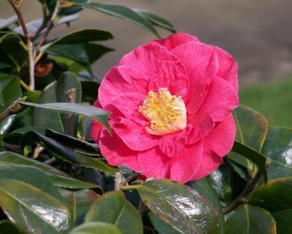 camellia-japonica