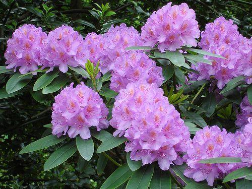 Fleurs,....fruit,.....tout ce qui se mange,...se boit....ou qui vient de la nature.......... - Page 2 Rhododendron