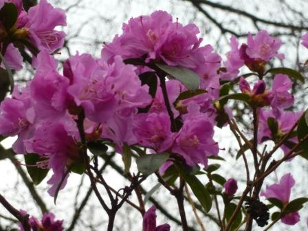 early-rhododendron
