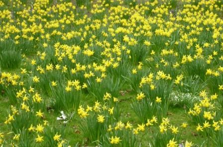 one-or-two-daffs