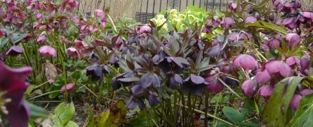 purple-haze-hellebore