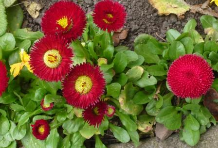 Bellis Rob Roy