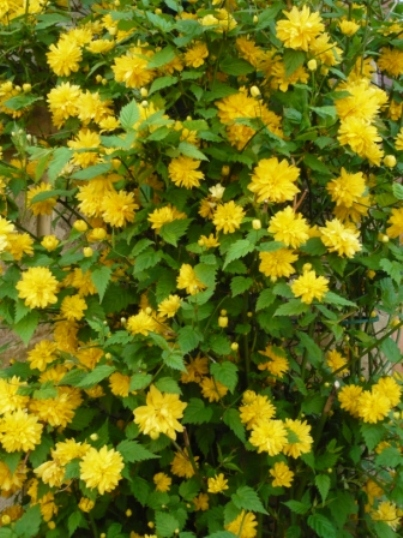 Japanese Kerria Shrub http://gardenerstips.co.uk/blog/flowers/growing-kerria/