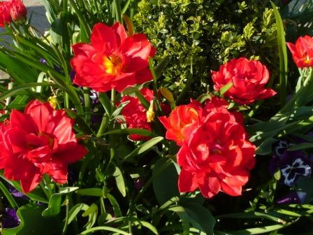 red-double-tulip