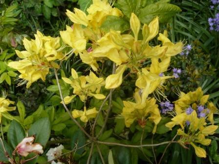 azalea-yellow