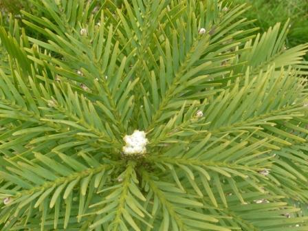 wolemi-pine