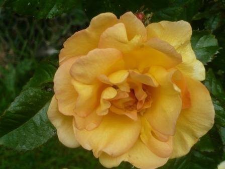 dog-rose41