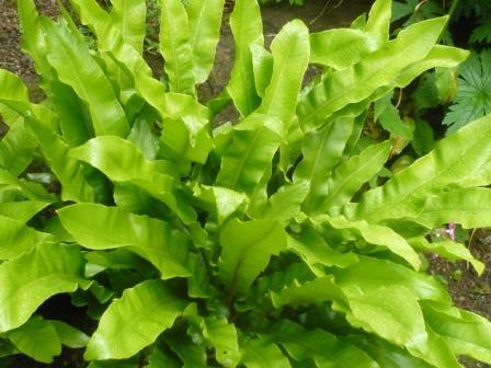 Fern for a Gift Planting Ferns