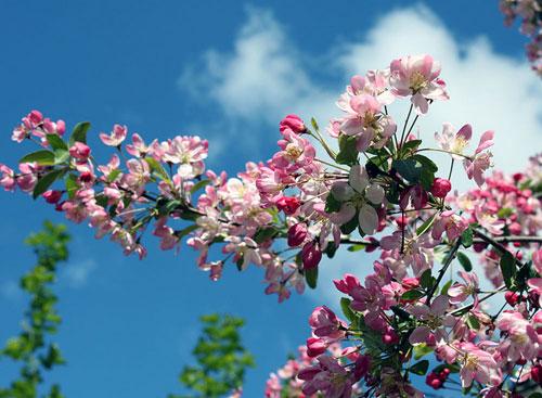 blossom-apple