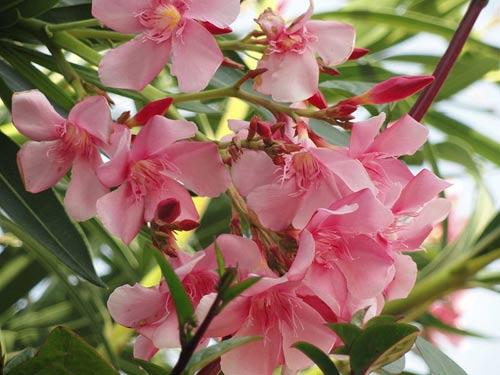 nerium oleander review gardeners tips. Black Bedroom Furniture Sets. Home Design Ideas