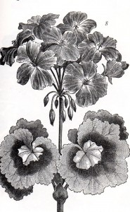 Engraved Zonal Pelargonium