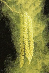 Pollen-on-hazel-catkins