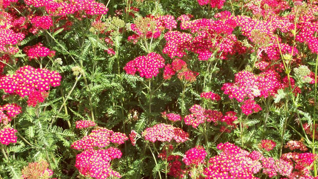 how to grow yarrow from seed