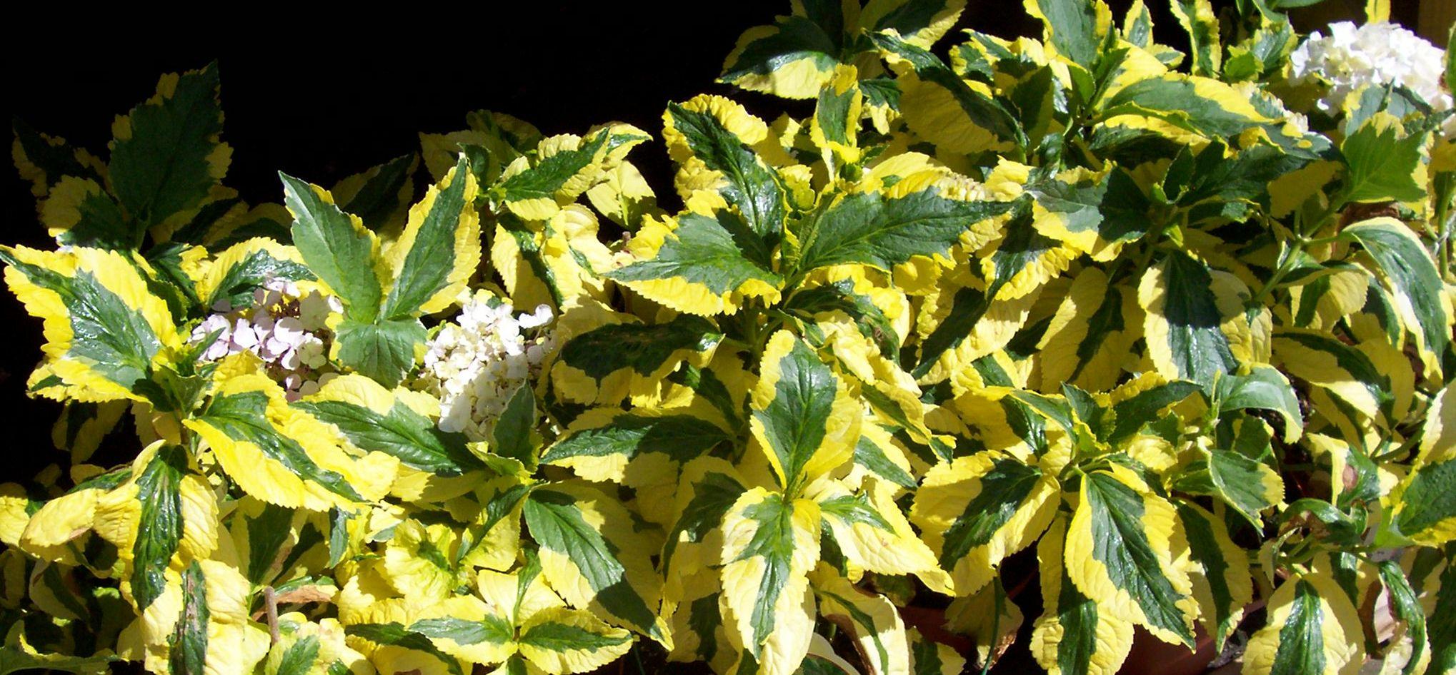 Growing Variegated Leaves Gardeners Tips