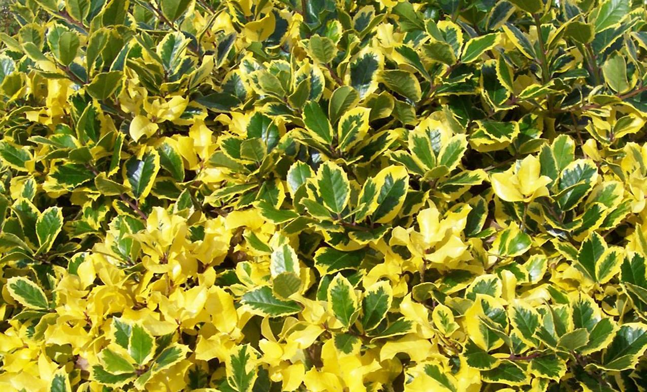 Holly Bush Flowers