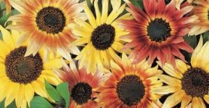 Sunflower  var Pastiche