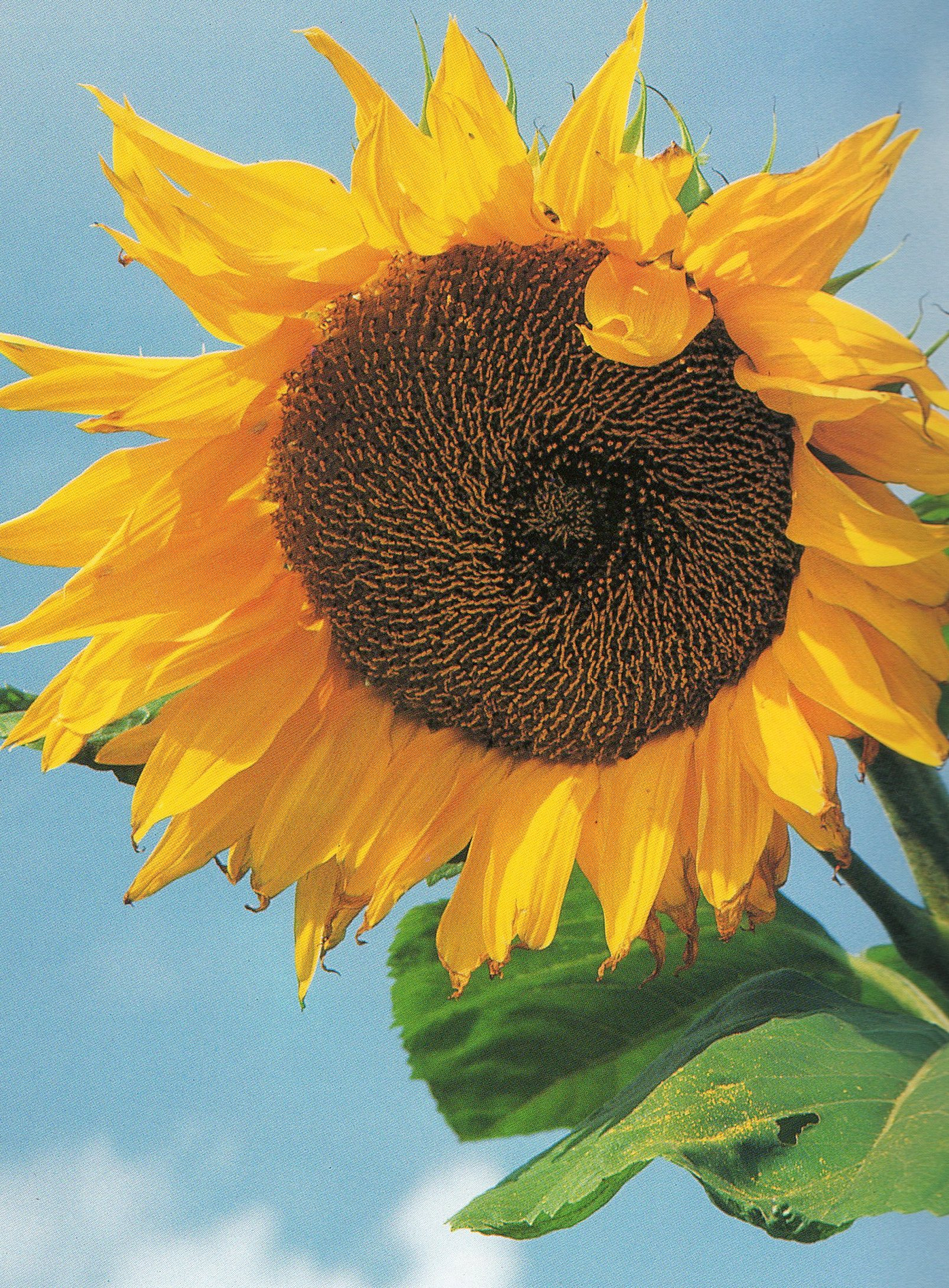 Titanic Sunflower Titan The Biggest Sunflower
