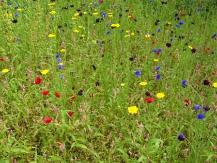 Augyst Wild Flower Garden