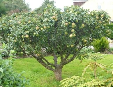 Types Of Apple Rootstock Gardeners Tips