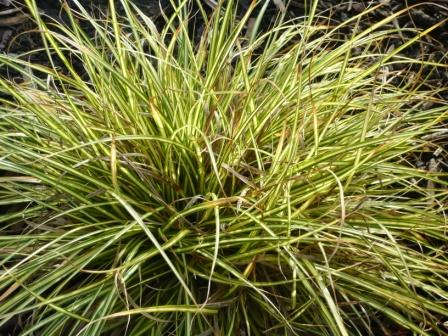 Favourite ornamental grasses gardeners tips for Long ornamental grass
