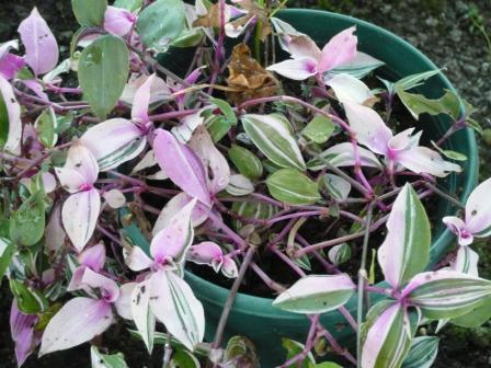Easy houseplants tradescantia wandering jew gardeners tips - Wandering jew plant name ...