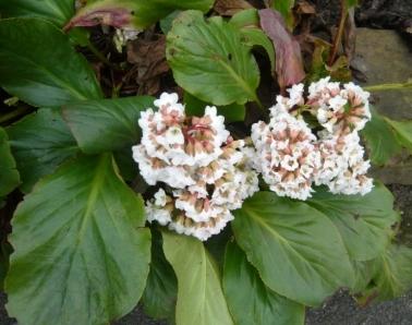 white-berginia