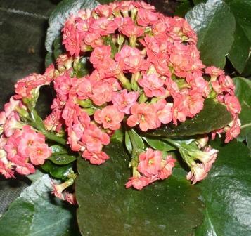 kalanchoe-blossfeldiana
