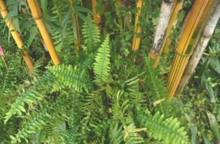 bambusa-variegata