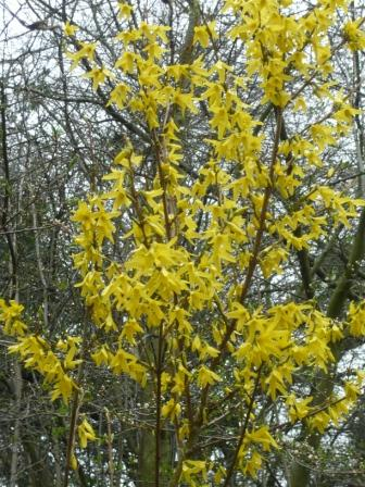 Top 10 spring flowering shrubs gardeners tips forsythia mightylinksfo