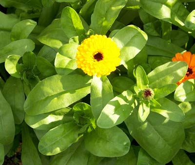 Pot Marigolds may help attract hoverfly