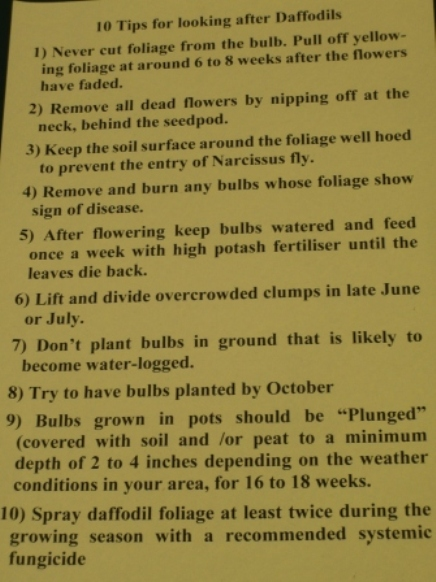 10-tips-for-looking-after-daffodils