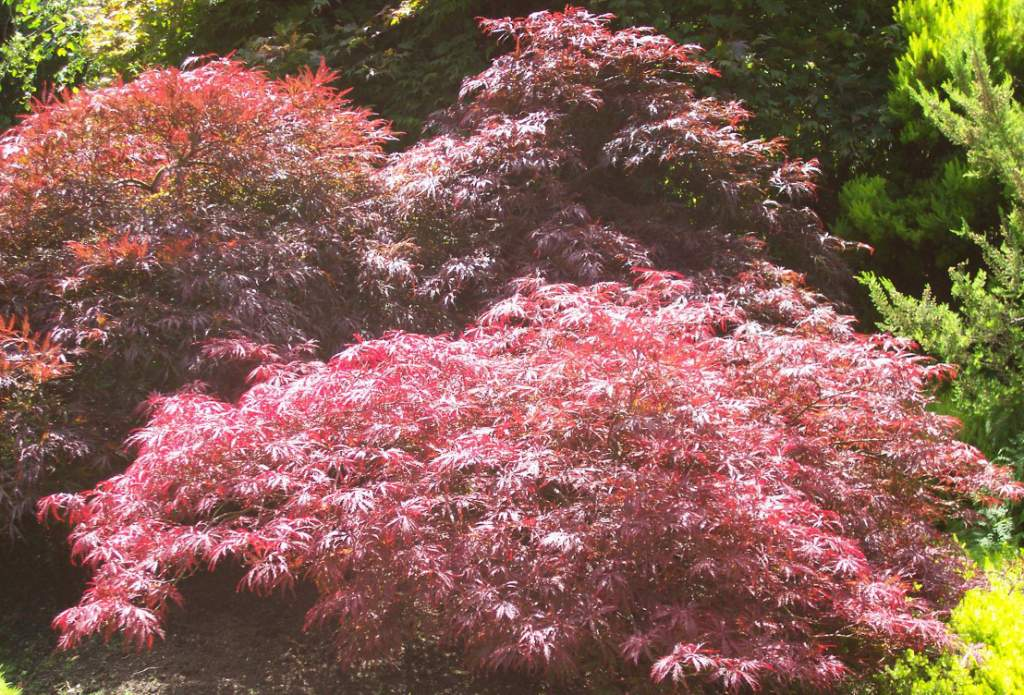 Tips For Growing Acer Japanese Maples Gardeners Tips