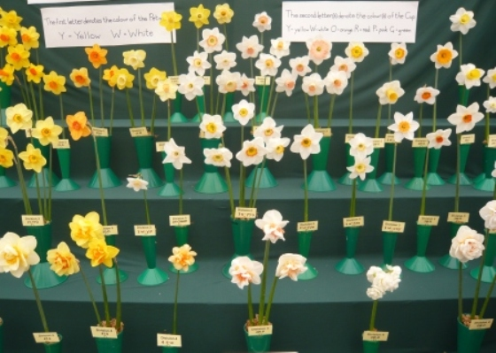 daffodil-displayed