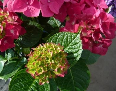hydrangea-buds