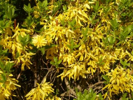 kerria-and-forsythia