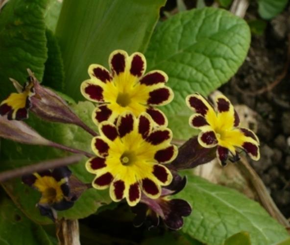 Old Fashioned Primula