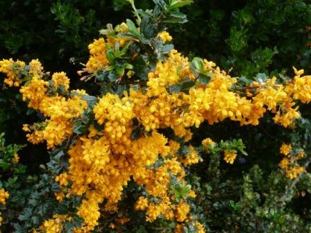 berberis-orange