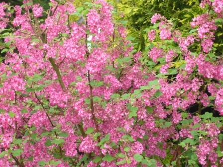 Flowering Currant Ribes Sanguineum Gardeners Tips