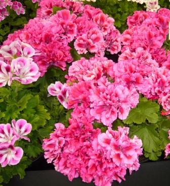 mendip-lorain-regal-geranium