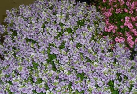 nemesia-blue-button
