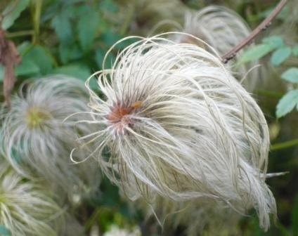 clematis-seed