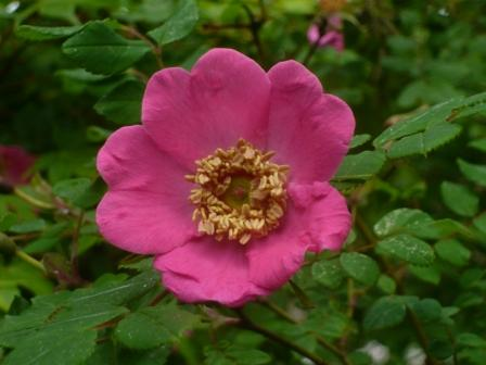 dog-rose3