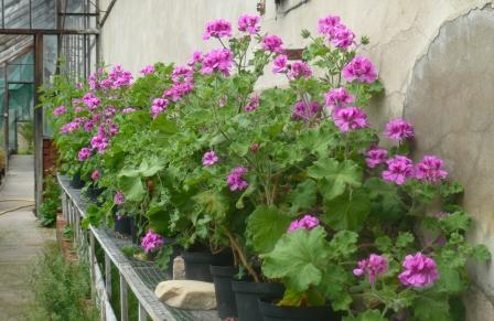 pelargonium-attar-of-roses