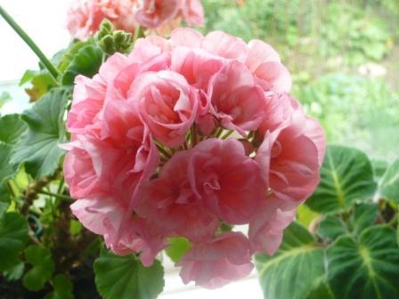 rosebud-geranium