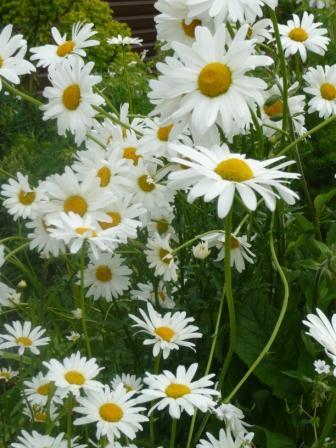 leucanthemum-daisy